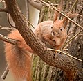 Red squirrel (49393198811).jpg