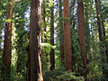 Redwoods in Richardson Grove State Park 1.jpg
