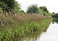 Reed Bed, Worcester and Birmingham Canal - geograph.org.uk - 1352473.jpg