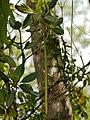 Rhizophora racemosa-propagule.jpg