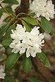 Rhododendron 'Boule de Neige' Flower.JPG