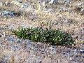 Rhododendron caucasicum-3.JPG