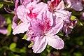 Rhododendron macrosepalum 02.jpg