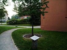 Neben der Kirche von Ribbeck neu angepflanzter Birnbaum (Quelle: Wikimedia)