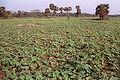 Ridge Gourd Field 20020400 11.jpg