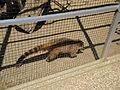 Ring-tailed Coati at Amazon World Zoo.JPG
