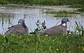 Ringduva Wood Pigeon (14288618617).jpg