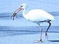 Rkinch ibis vs toad.jpg