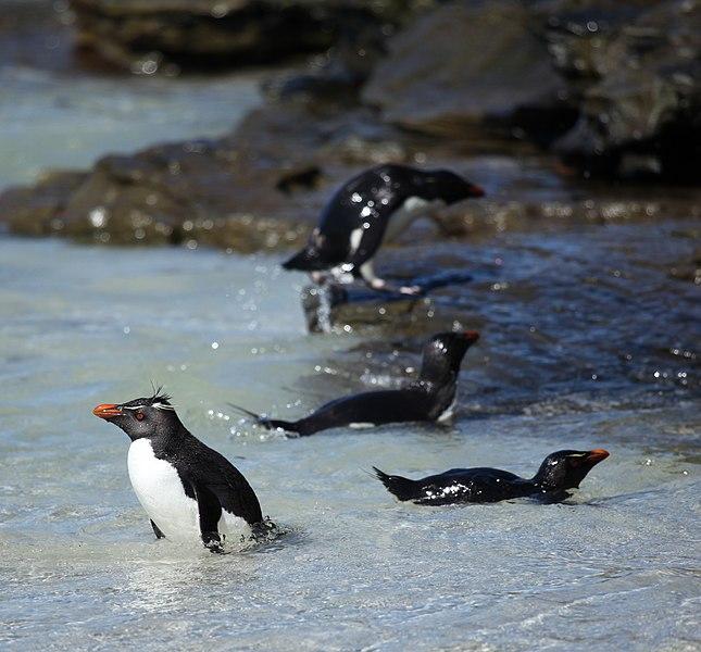 File:Rockhopper Penguins swimming (5565076187).jpg