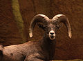 Rocky Mountain Bighorn Sheep (4083033633).jpg