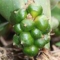 Rohdea japonica (fruits s6).jpg