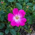 Rosa. Onbenaamde cultivar (actm) 02.jpg