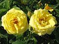 Rosa 'Carte d'Or' 02.jpg