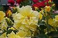 Rosa 'Evergold' at Ishida Rose Garden in Odate, Akita, Japan.jpg