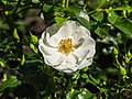 Rosa 'Innocentia' (d.j.b) 01.jpg