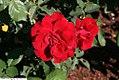 Rosa Poulander 1zz.jpg
