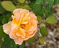 Rosa cultivar Pons août 2015 Charente-Maritime.jpg