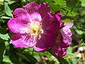 Rose im Botanischen Garten Erlangen (3).JPG