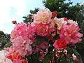 Roses Eltville 2014-2.jpg