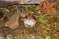 Rostov-on-Don Zoo Cane toad IMG 5099 1725.jpg