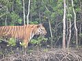 Royal Bengal Tiger walking down Mangrove Island in Sundarbans 2.jpg