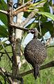 Rubiaceae - dry fruit (12173749785).jpg