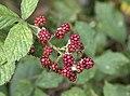 Rubus sp., Giresun 2018-08-20 2.jpg