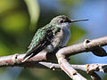 Ruby-throated Hummingbird (Archilochus colubris) RWD1.jpg