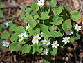 Rue Anemone Thalictrum thalictroides Plant 2629px.jpg