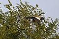 Rufous treepie (34587525832).jpg
