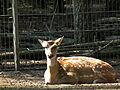 Ruhender Axishirsch Tierpark Walldorf.JPG