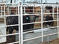 Runaway Train bull Behind the Chutes at 2017 Cheyenne Frontier Days.jpg