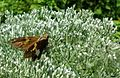 Rutgers Gardens in New Brunswick New Jersey butterfly or moth ImageNumber 25.jpg