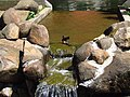 SABIÁ-LARANGEIRA (Turdus rufiventris) BANHANDO-SE.jpg