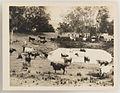 SLNSW 919829 Series 02 Cattle ca 19211924.jpg