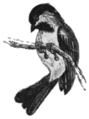 SMO V12 D695 Titmouse or chickadee.png