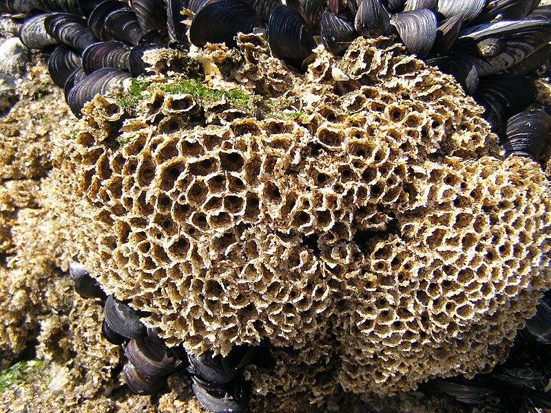 File:Sabellaria alveolata reef.jpg