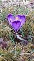 Saffron - Crocus vernus 03.jpg