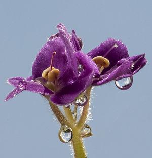Saintpaulia - Saintpaulia flowers