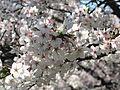 SakuraBern2.jpg
