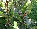 Salix-hastata-leaves.JPG