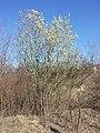 Salix caprea sl14.jpg