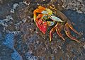 Sally Lightfoot Crab (4108458401).jpg