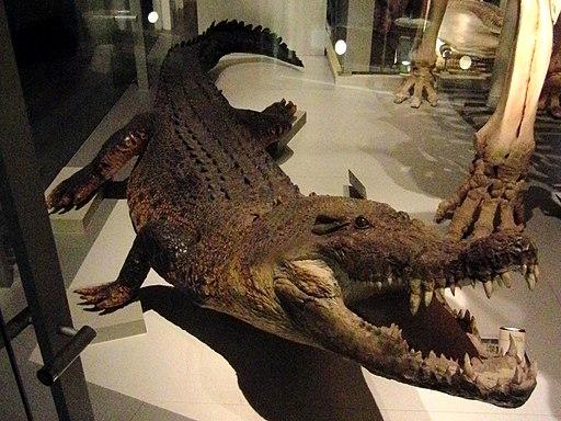 Saltwater crocodile Stuffed specimen