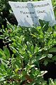 Salvia Nemorosa Meadow Sage plants growing in NJ in April.jpg