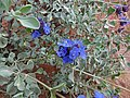 Salvia dorrii (01) - Flickr - andrey zharkikh.jpg