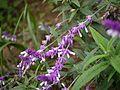Salvia leucantha (6367467671).jpg
