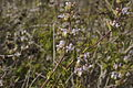 Salvia mellifera (444075966).jpg