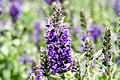 Salvia nemorosa Marcus 11zz.jpg