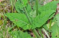 Salvia pratensis in Lozere (3).jpg